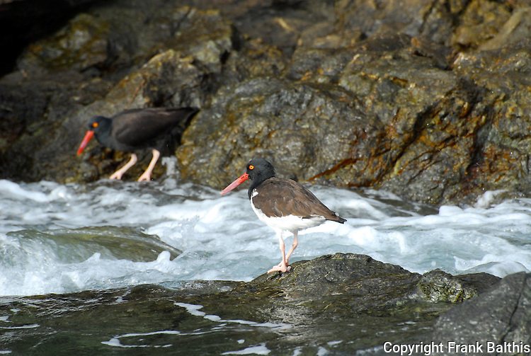 Black oystercatcher and American Oystercatcher