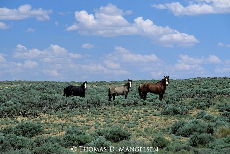Three wild horses stand amidst sagebrush on the Red Desert in Wyoming.