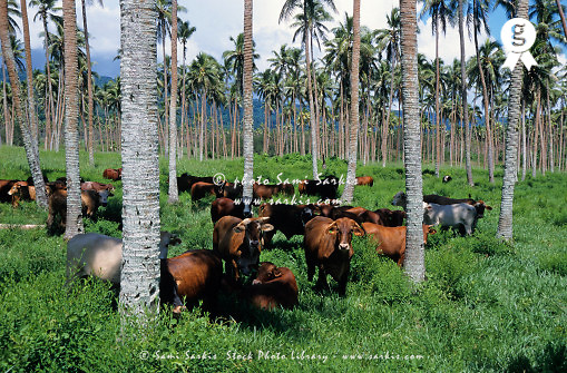 Vanuatu, Efate Island, Herd of cows grazing in coconut trees (Licence this image exclusively with Getty: http://www.gettyimages.com/detail/sb10068808l-001 )