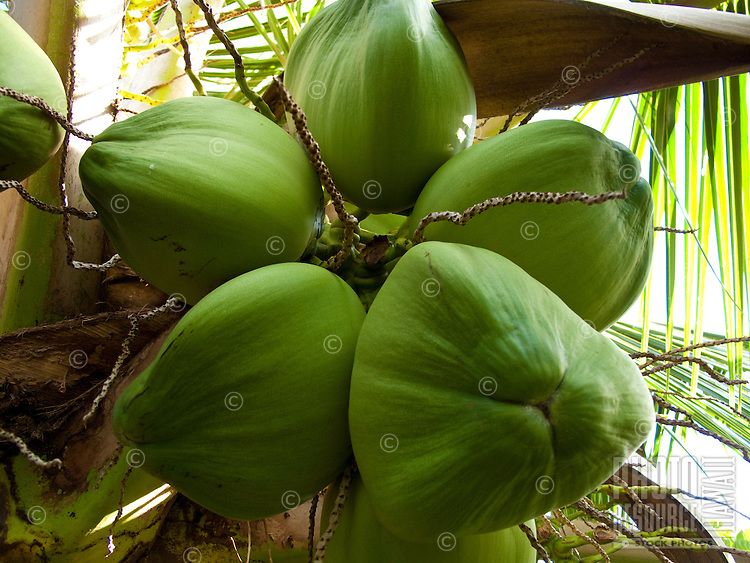 6 green coconuts hanging from tree
