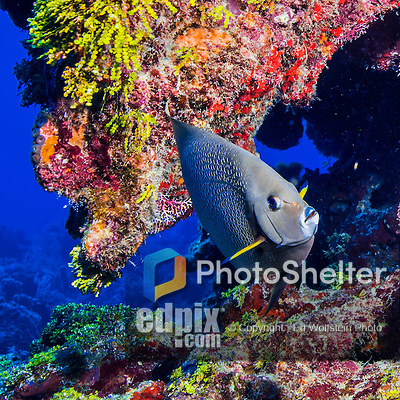 26 July 2015: A Gray Angelfish, Pomacanthus arcuatus, swims under a coral ledge at Ocean Pointe Reef, on the North Shore of Grand Cayman Island. Located in the British West Indies in the Caribbean, the Cayman Islands are renowned for excellent scuba diving, snorkeling, beaches and banking.  Mandatory Credit: Ed Wolfstein Photo *** RAW (NEF) Image File Available ***