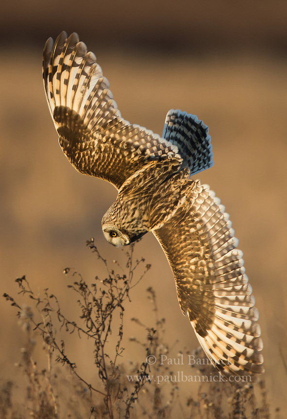 A Short-eared Owl, hunting a sunset, turns and dives after hearing a vole moving through the vegetation below.