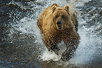 Brown bear fishing, Katmai National Park, Alaska, USA