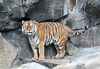 Stock image of a tired looking Siberian tiger standing in the middle of rocks in Tier park, Berlin.