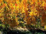 In a forest in Southwest Colorado, a warm Indian summer wind blows across the changing mosaic of an aspen grove.
