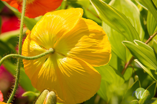 Red and yellow poppy flowers;