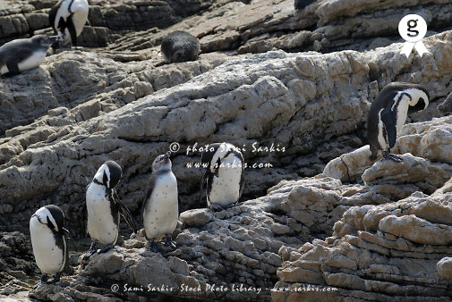 Five black footed Jackass penguins (Speniscus demersus) basking on rock by beach, South Africa, South Weatern Cape, Betty's Bay (Licence this image exclusively with Getty: http://www.gettyimages.com/detail/73014018 )