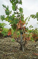 A Grenache vine trained in Gobelet (goblet) supported on a stick in the vineyard in Collioure, Pyrenees-Orientales, Roussillon, Languedoc-Roussillon, France