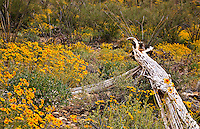 Spring goldenhills surround a fallen saguaro skeleton near Tucson, Arizona.