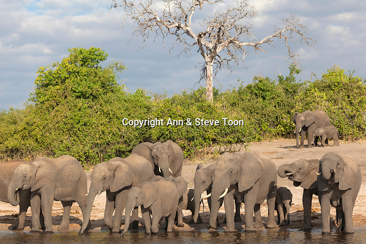 African elephants (Loxodonta africana) drinking at river, Chobe River, Botswana, June 2016