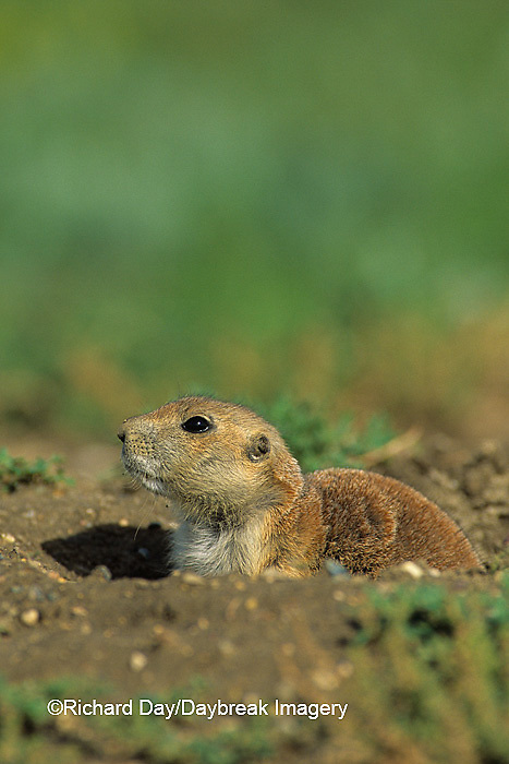 01998-00210 Black-tailed Prairie Dog (Cynomys ludovicianus)    ND