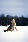 Coyote, Canis latrans, howling, in snow, winter, controlled situation, Minnesota.USA....