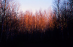 Birch trees in late afternoon sun.
