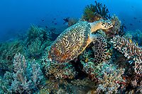 hawksbill turtle, Eretmochelys imbricata, Critically endangered (IUCN), Rock Point East Reef, Apo Island, Dumaguete, East Negros Island, Central Visayas, Philippines, Pacific Ocean