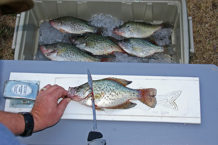 Filleting a crappie with an electric fillet knife