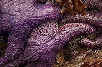 Ochre sea stars (Pisaster ochraceus), Gossip Island, San Juan Islands, Washington, US