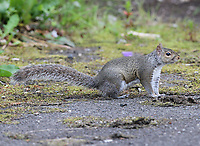 A grey squirrel looking for food on 14.6.17.