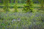 Gray Wolf in fresh green tundra, Interior Alaska, Summer.