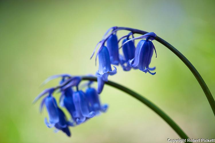 Bluebell Flowers, Hyacinthoides non-scripta, Denge Woods, Kent UK, close up of flowers