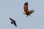 Brahminy Kite (Haliastur indus) flying with male Changeable Lizard (Calotes versicolor) prey, while being mobbed by House Crow (Corvus splendens), Diyasaru Park, Colombo, Sri Lanka