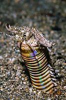 Bobbit worm, Eunice aphroditois, Bima Bay, Nusa Tengarra, Indonesia, Pacific Ocean