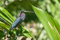 Chestnut-bellied Heron, Tortuguero, Costa Rica, Central America.
