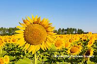63801-11202 Sunflowers in field Jasper Co.  IL