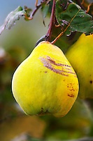 A coing quince fruit. on a tree. Domaine la Monardiere Monardière, Vacqueyras, Vaucluse, Provence, France, Europe