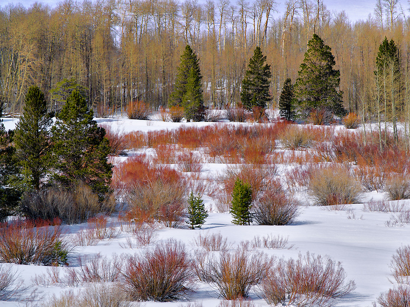 Red willows and snow in meadow. Humbolt-Toiyabe National Forest, California