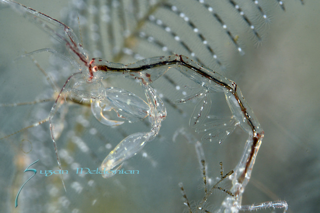 Skeleton Shrimp, Caprella sp, Anilao, Philippines