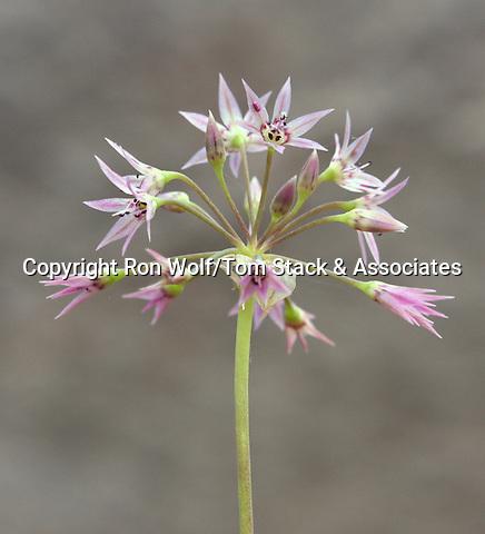 Sierra Onion (Allium campanulatum) a/k/a Dusky Onion. Loney Meadow. Tahoe National Forest. Nevada Co., Calif.