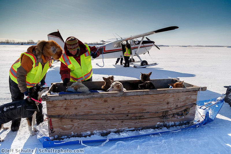 Volunteer dog handlers Shannon Post, Anja Radano and Corinne Marzullo gather dropped dogs from an airplane at the Galena checkpoint on Friday March 13, 2015 during Iditarod 2015.  <br /> <br /> (C) Jeff Schultz/SchultzPhoto.com - ALL RIGHTS RESERVED<br />  DUPLICATION  PROHIBITED  WITHOUT  PERMISSION