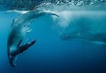 Humpback whales, Vava'u, Tonga