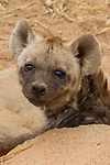Spotted Hyena (Crocuta crocuta) five month old male pup in den, Kruger National Park, South Africa