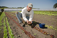 John Severn, California organic farmer with his organic baby lettuce at Little River Farm, local market farmer, Arcata California