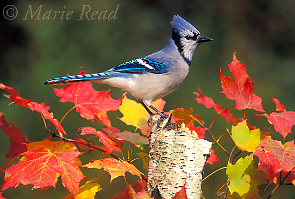 Blue Jay (Cyanocitta cristata) perched amid colorful leaves in autumn, New York, USA<br /> Slide # B117-28