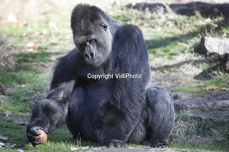 Foto: VidiPhoto<br /> <br /> APELDOORN - Dertien jaar geleden kwam hij als jonge puber en onervaren leider naar Apenheul: gorilla Jambo. Inmiddels weegt hij 200 kilo, is hij vader van acht kinderen en &eacute;&eacute;n van de iconen van Apenheul. Vrijdag was er een bijzonder afscheidsmoment voor het publiek, waarin verzorgers terugblikten op dertien jaar leiderschap van Jambo. De zilverrug is nog tot 4 november te zien in de Apenheul. Dan maakt hij plaats voor zijn opvolger Bao Bao. Jambo vertrekt tijdens de wintersluiting met drie zonen naar Al Ain Zoo in de Verenigde Arabische Emiraten. Het vertrek heeft alles te maken met het internationale fokprogramma voor gorilla&rsquo;s. De afgelopen jaren heeft Jambo voor acht kinderen gezorgd. Zijn genen zijn daarmee goed vertegenwoordigd onder de populatie gorilla&rsquo;s in dierentuinen. Ook moet inteelt in de groep worden voorkomen.