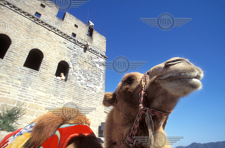 © Giacomo Pirozzi / Panos Pictures..CHINA..A camel next to the Great Wall.