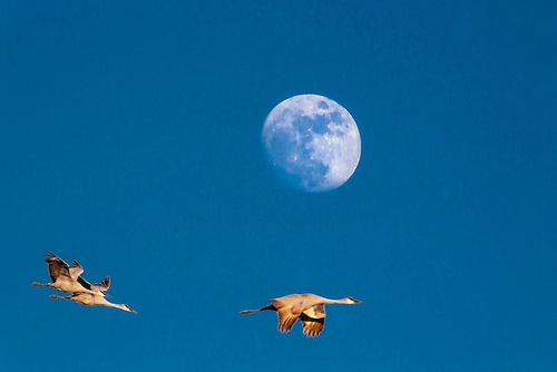 Sandhill Cranes fly before a rising moon at Bosques Del Apache, New Mexico