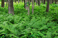 The forest floor is filled with ferns  in an area that is far south of the ferns normal range, Zander's Woods Forest Preserve, Cook County, Illinois