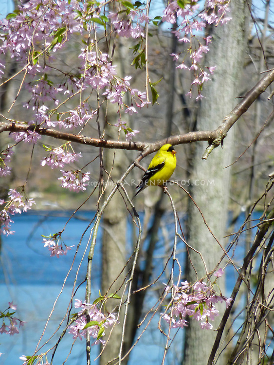 Bird Goldfinch in weeping cherry Prunus tree in flower with blue lake water