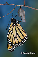 Monarchs - Life Cycle