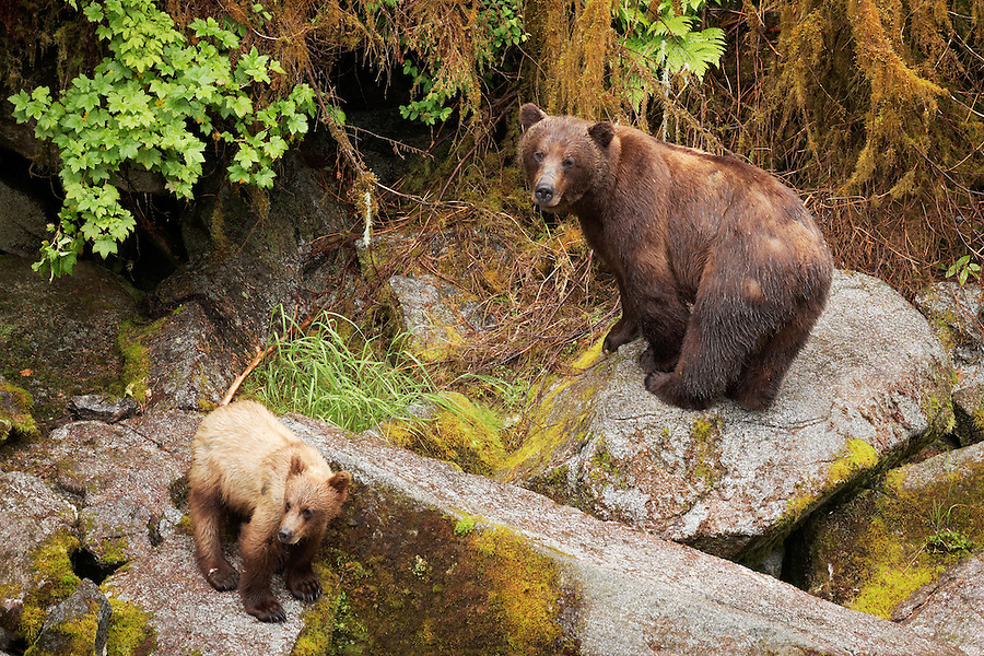 Female coastal brown bear and her cub walking on boulders, Anan Wildlife Observatory, Tongass National Forest, Southeast, Alaska