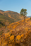 Golden color in the Selkirk Mountains in north Idaho