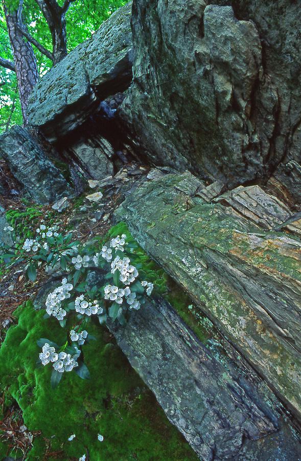 PA Landscapes, Mountain Laurel, Tuscarora State Forest, Pennsylvania Spring, Pennsylvania Wildflowers,