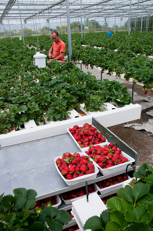 New Zealand, South Island, Marlborough, hydroponic strawberry production at Hedgerow Hydroponics. Photo #126383
