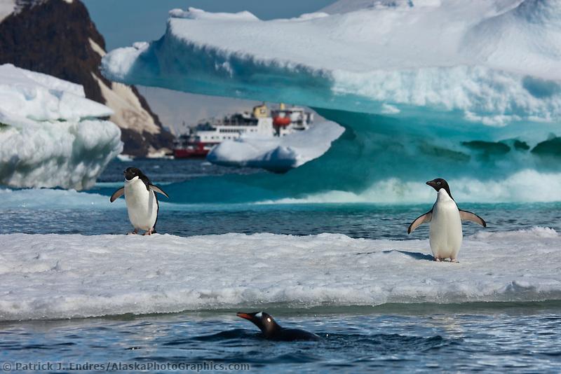 Adelie penguins on icebergs near Devil Island, northeast side of the Antarctic peninsula.