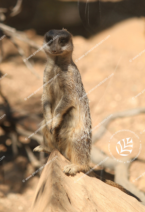 Meerkat standing on its rear legs on the edge of a rock at Paphos animal park in Cyprus.<br /> <br /> (For editorial use only)
