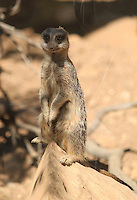 Meerkat standing on its rear legs on the edge of a rock at Paphos animal park in Cyprus.<br />