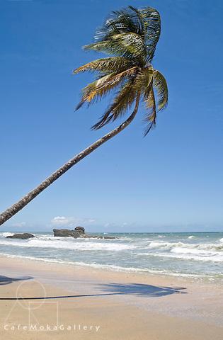 Single coconut palm on the beach at Yarra